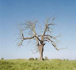 больное дерево